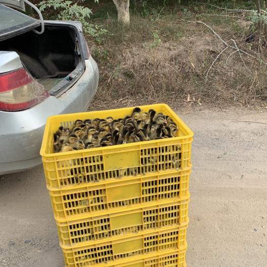 廣西壯族自治區玉林市陸川縣 雜交鴨苗