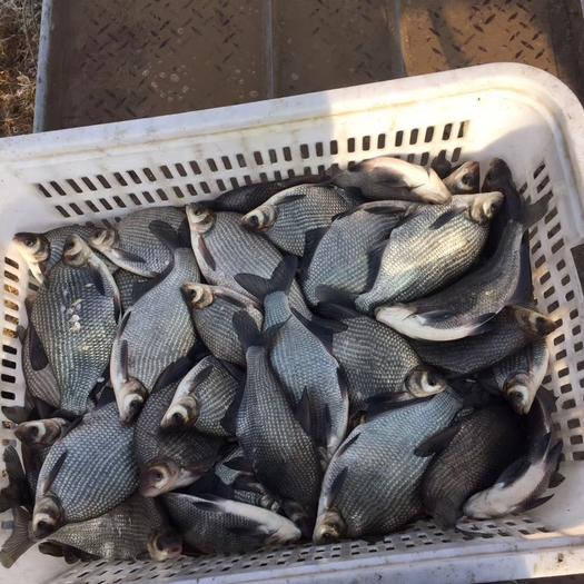 陜西省渭南市大荔縣白鰱魚 大量供應草魚,鯉魚,白蓮、花蓮