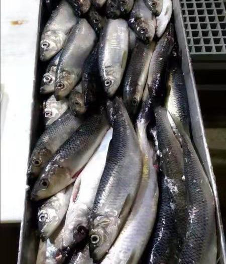 黑龍江省牡丹江市東安區俄羅斯青魚 野生 0.25-1公斤
