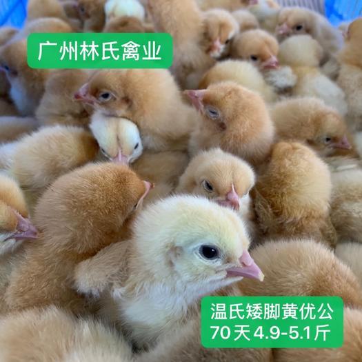 廣東省廣州市白云區 溫氏矮腳黃雞苗 優公苗 包打疫苗包路損 大公司雞苗