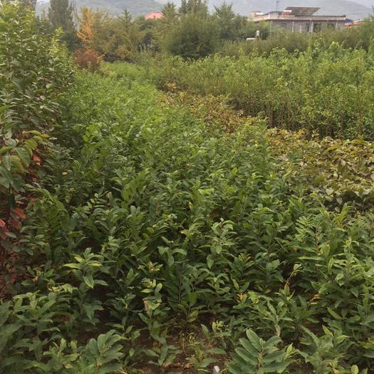 山東省泰安市岱岳區 蜂糖李樹苗基地直營價格低品種純正