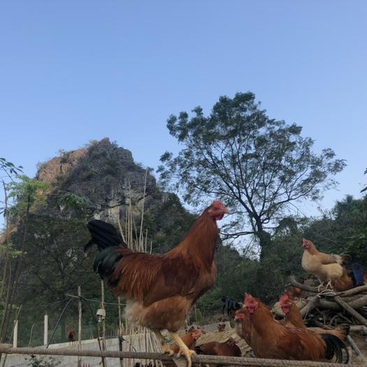 廣西壯族自治區貴港市港北區三黃雞 5-6斤 統貨