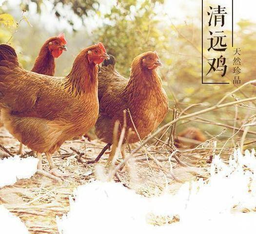 廣東省清遠市英德市 清遠雞,土雞,生態雞