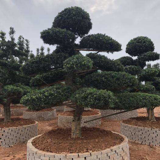 湖南省長沙市雨花區造型羅漢松