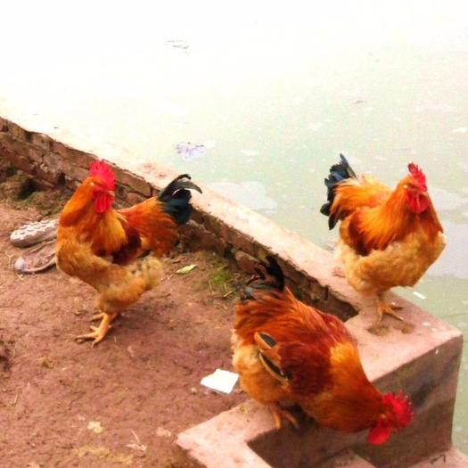 廣西壯族自治區南寧市西鄉塘區 快大型k9雞苗,公雞達到九斤