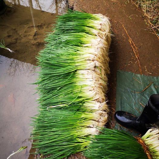 湖南省郴州市北湖區 香蔥、黑蔥