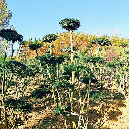 河南省駐馬店市驛城區造型女貞樹 小葉女貞造型基地,云片7個以上,多桿叢生,精品造型,自家種植