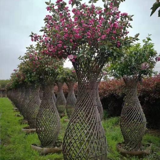河南省南陽市方城縣造型紫薇 紫薇造型樹。