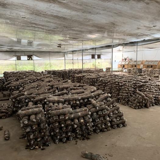 云南省昆明市盘龙区香菇菌种 专业生产 香菇 菌棒 808A 18x55公分