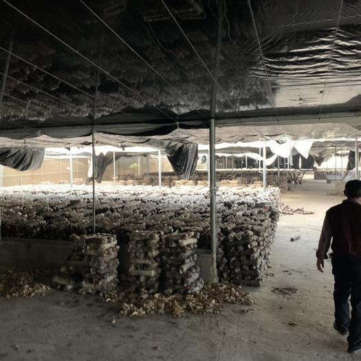 云南省昆明市盘龙区香菇菌种 专业生产香菇菌棒 808A 18x55污染率极低 出菇率高