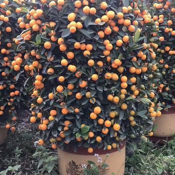 大量出售:造型橘子树 、形状美丽、价格实惠、质量保证.