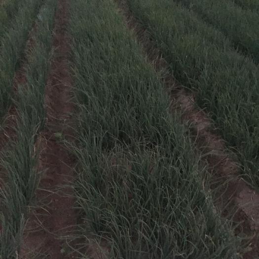 福建省廈門市翔安區四季蔥 大量提供漂亮香蔥