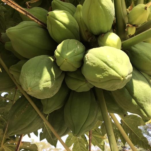 廣東省清遠市英德市白木瓜 3 - 4斤