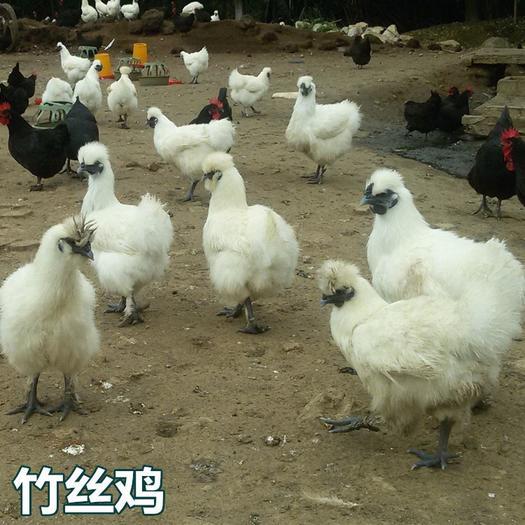 廣西壯族自治區南寧市西鄉塘區 竹絲雞苗