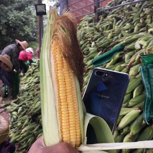 廣東省湛江市雷州市甜糯玉米 甜玉米 純黃心 黃白心
