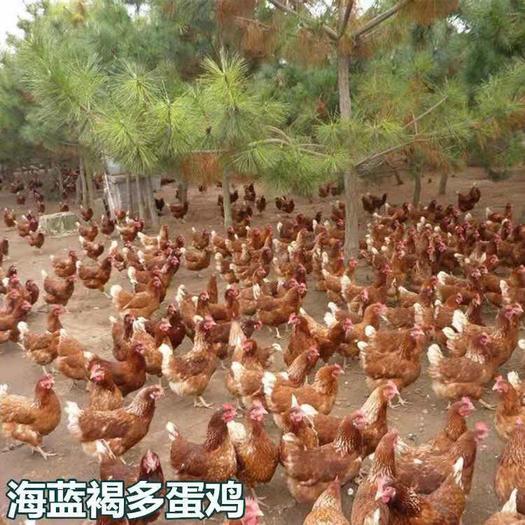 廣西壯族自治區南寧市西鄉塘區 海蘭褐多蛋雞苗