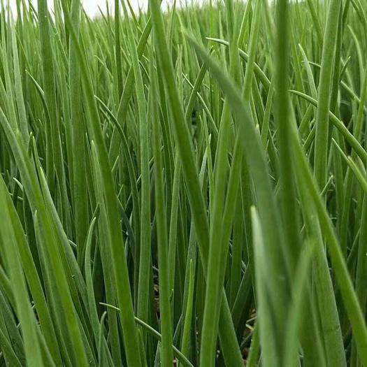 福建省廈門市翔安區小香蔥 長期供應香蔥苗,各種規格都有,毛品,成品都可,貨美價優