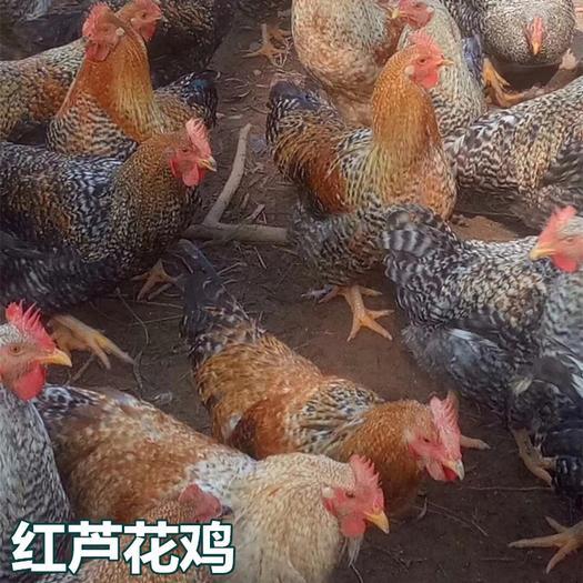 廣西壯族自治區南寧市西鄉塘區 紅蘆花雞苗