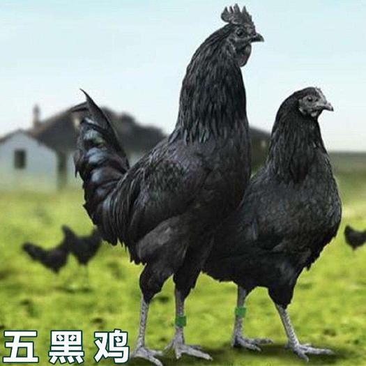 廣西壯族自治區南寧市西鄉塘區 五黑雞苗
