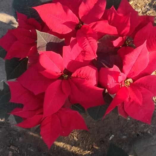 山東省濰坊市青州市一品紅 造型樹 一品紅矮小版45-50公分左右,優惠中