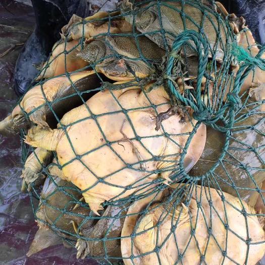 浙江省杭州市蕭山區 1.5斤甲魚水魚團魚青黃色