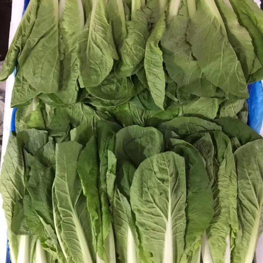 山東省菏澤市曹縣 大量供應精品小中顆小白菜,質量保證,誠信第一。歡迎老板訂購
