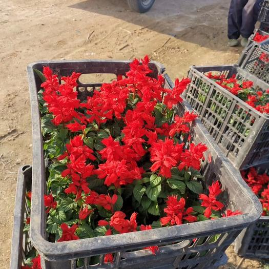 广东省揭阳市普宁市 一串红20公分高袋苗 色红鲜艳花期又长 适应性强草本花卉