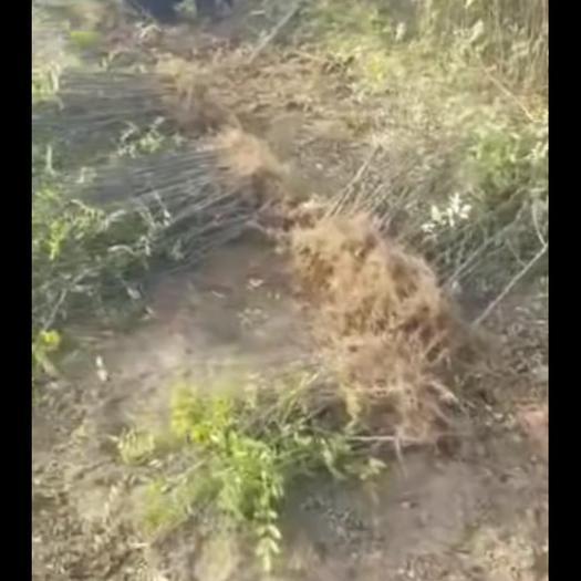 山西省運城市永濟市無刺花椒苗
