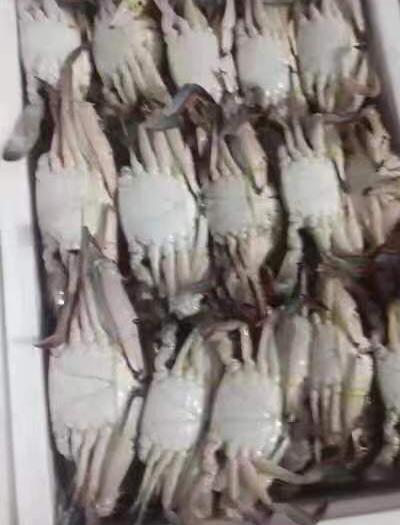 上海市寶山區 梭子蟹