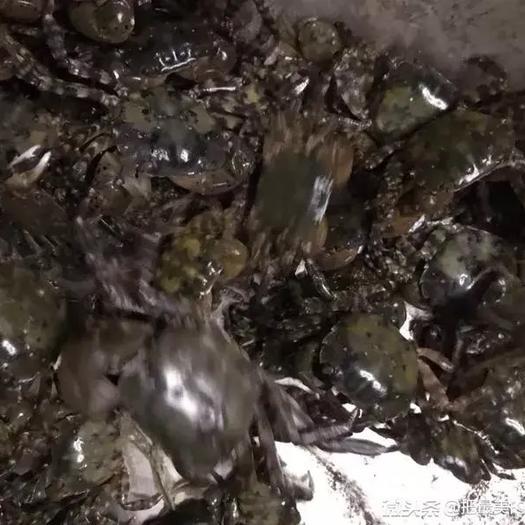 山東省日照市嵐山區石蟹 石雜蟹,野生,用于深加工或飼料