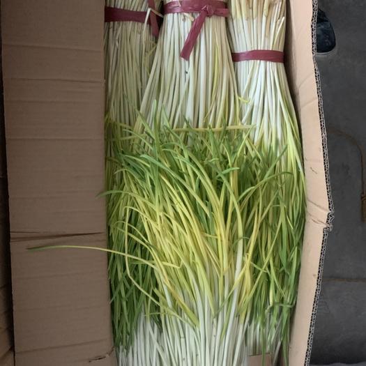 內蒙古自治區通遼市科爾沁區白根蒜苗 40 - 45cm