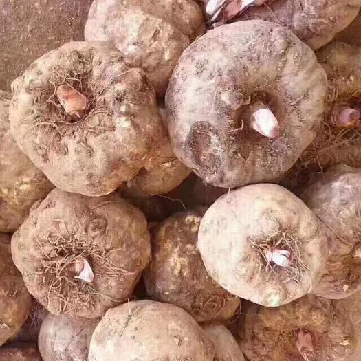 貴州省畢節市威寧彝族回族苗族自治縣魔芋種 大量魔芋出售