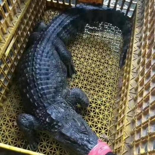 廣西壯族自治區南寧市上林縣泰鱷魚 鱷魚