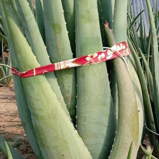 河南省周口市川匯區 庫拉索奶蘆薈