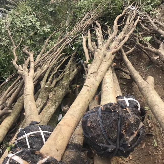 廣西壯族自治區桂林市象山區 桂花樹,占地垃圾桂花5-20公分大量供應具體需要請聯系詳談