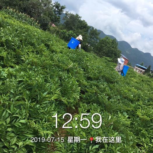 重慶市奉節縣 種植魔芋是條路,兩年就能幫你致富,魔芋種子和種植技術同步走。