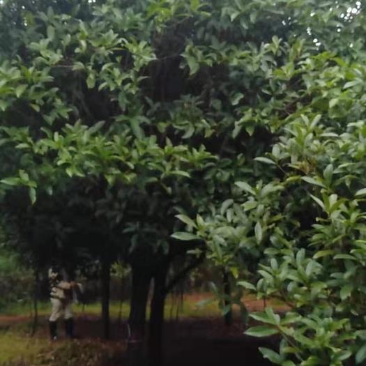 廣西壯族自治區桂林市象山區 桂花樹具體需要請聯系詳談