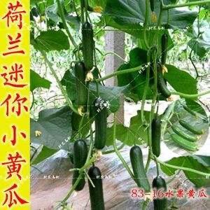 河南省焦作市博愛縣 荷蘭無刺水果小黃瓜姑娘買了我的瓜忘了那個他吧