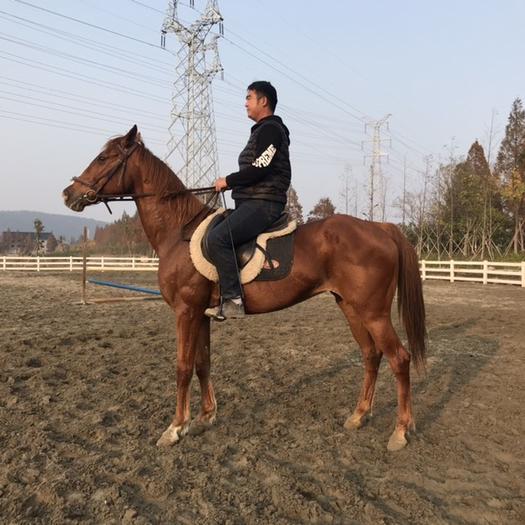 浙江省杭州市西湖區 精品純血母馬,7歲,身高1.61米,專業俱樂部教學