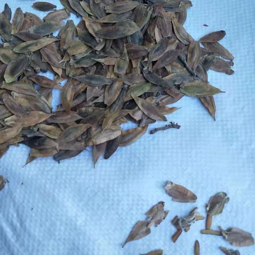 山東省泰安市岱岳區杜仲種子 今年新貨種子飽滿出芽率高