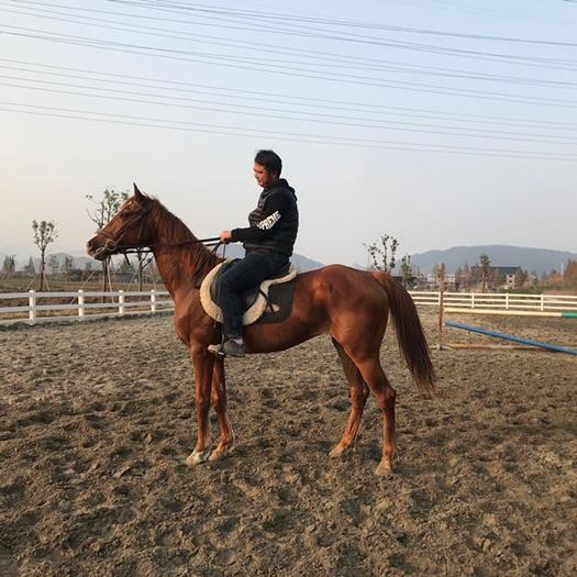 浙江省杭州市西湖區 浙江杭州西湖區出售游客馬,純血馬,小矮馬,寵物馬,半血馬