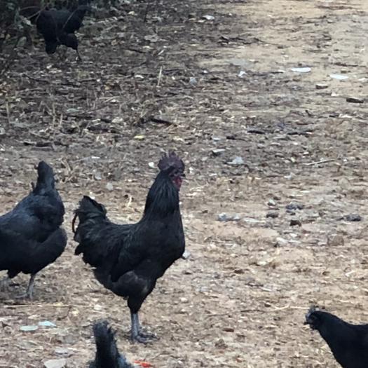 江西省鹰潭市余江区 散养五黑鸡,乌鸡,绿壳蛋鸡,乌骨鸡,五黑一绿