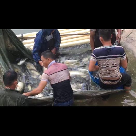 廣西壯族自治區南寧市武鳴區 成魚出售,網上有5斤一13斤條,黑鯇幾千斤,