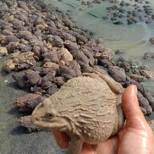 廣西壯族自治區玉林市北流市 出售健康好品質泰蛙