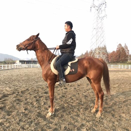 浙江省杭州市西湖區 純血母馬 7歲 身高1.61米