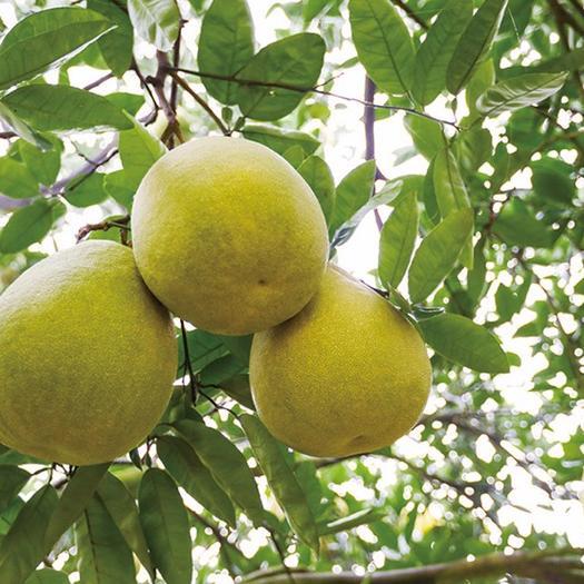 四川省廣安市鄰水縣 廣安龍安柚批發一件代發試吃裝