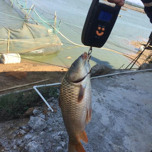 廣西壯族自治區南寧市西鄉塘區 水庫鯉魚  大量供應