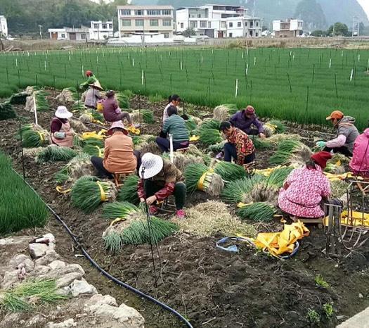 廣西壯族自治區柳州市城中區 小蔥(量大的老板請直電)