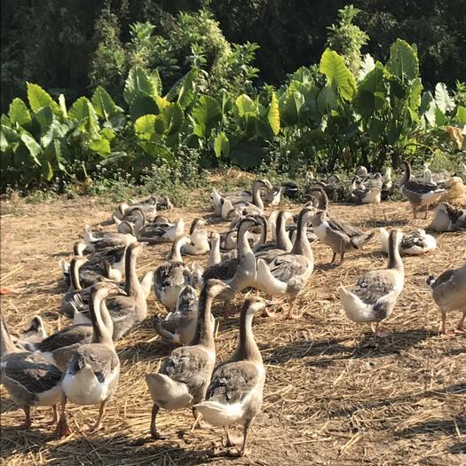 廣東省陽江市江城區 全散養,喂雜糧,農家肉鵝