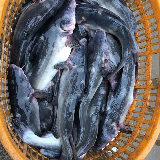 廣東省佛山市南海區黑鮰魚
